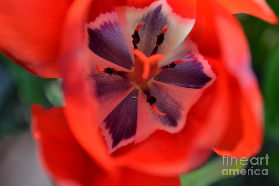 tulip 5 by Diane montana Jansson