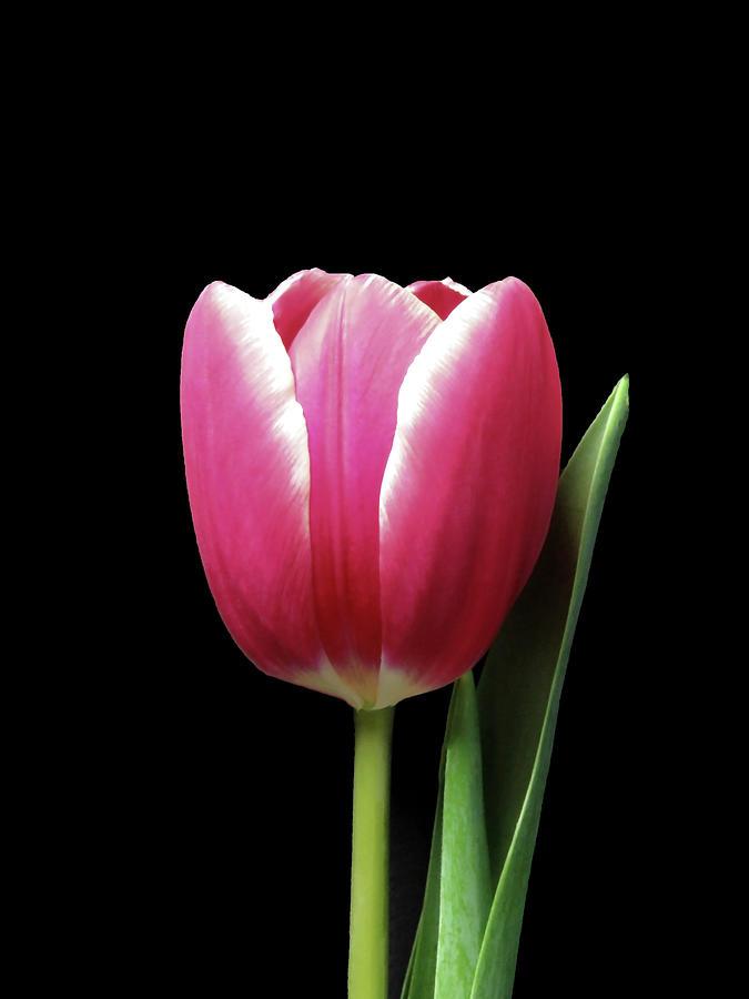 Tulip Beauty On Black Photograph