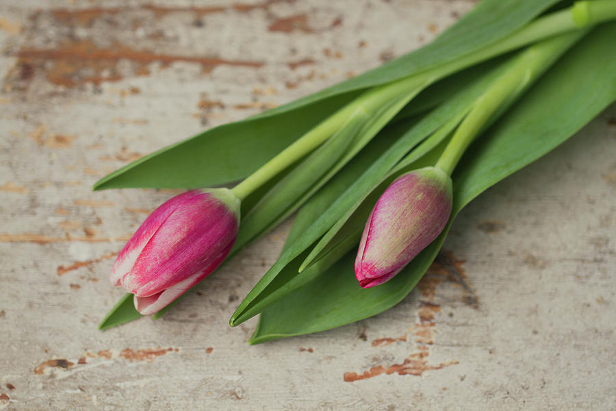 Tulip Buds Photograph by Elin Enger