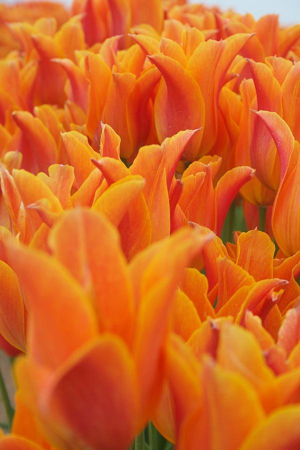 Tulip Chorus by Dylan Punke
