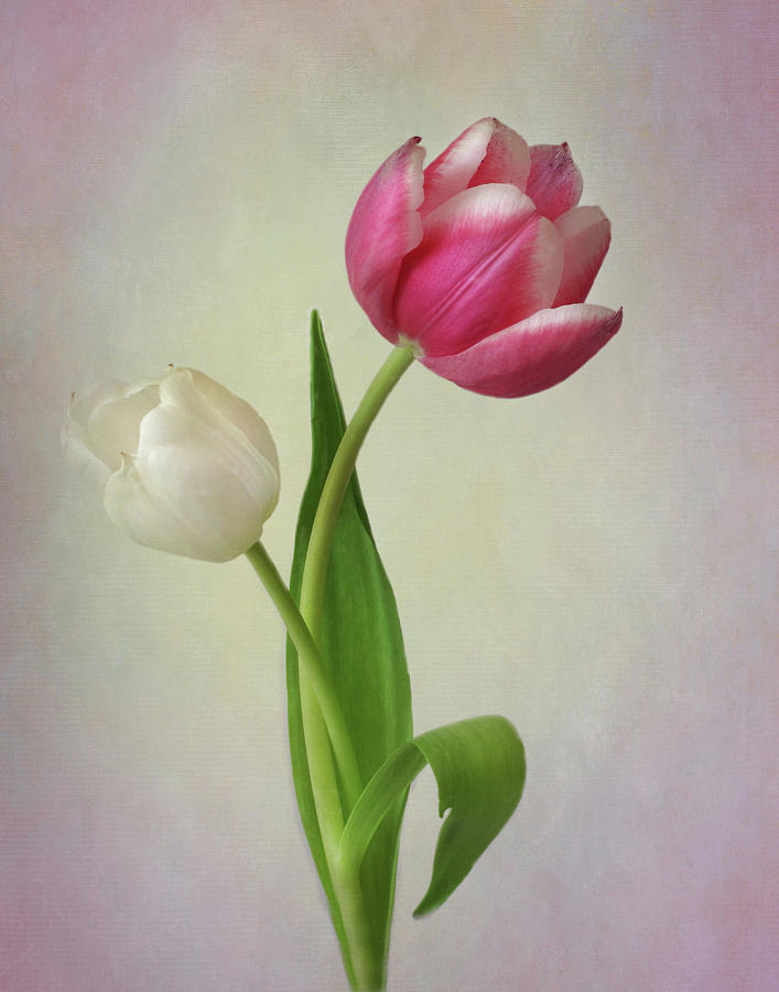 Tulip Curves by David and Carol Kelly