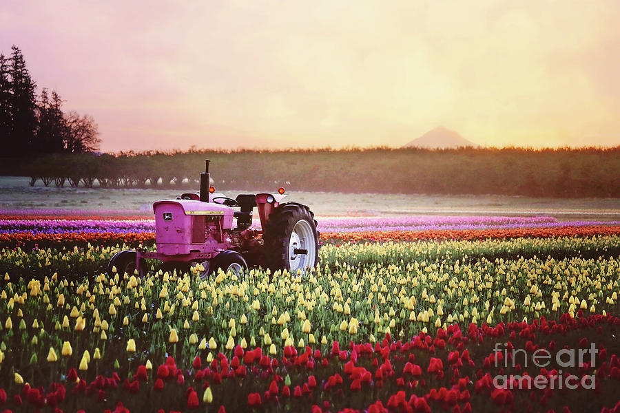 Tulip Festival Pink tractor by Sylvia Cook