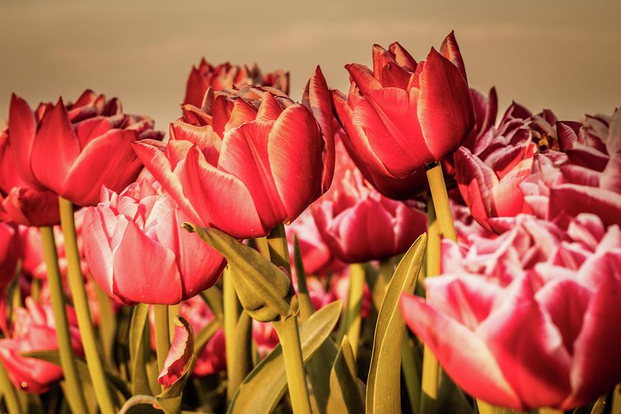 Tulips Photograph - Tulip Fields by Anjo Ten Kate