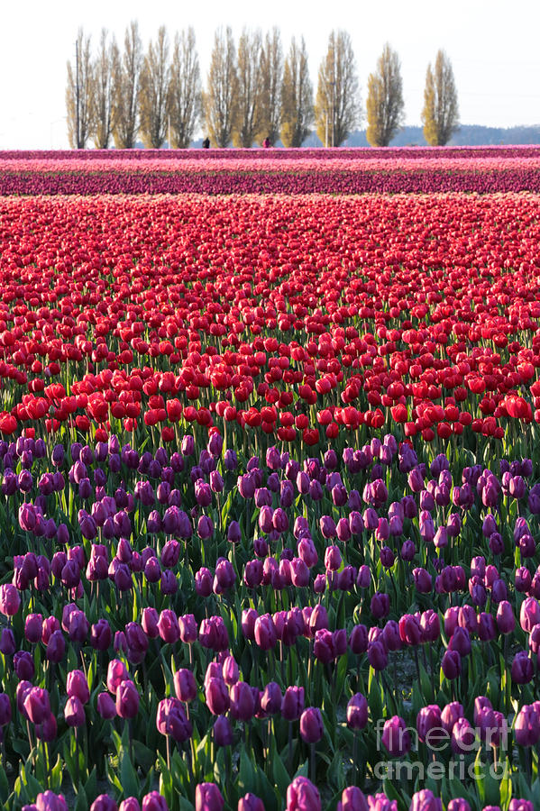 Tulip Fields Forever Vertical by Carol Groenen