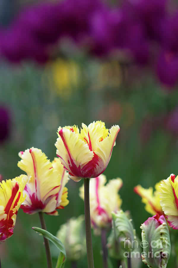 Tulip Flaming Parrot Flowers by Tim Gainey