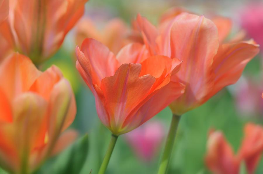 Orange Photograph - Tulip Flower Orange Wings by Cora Niele
