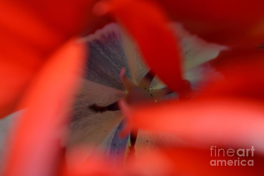 Tulip Heart by Diane montana Jansson