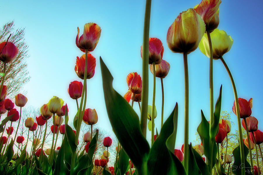 Tulip Holland Michigan 85 by Evie Carrier