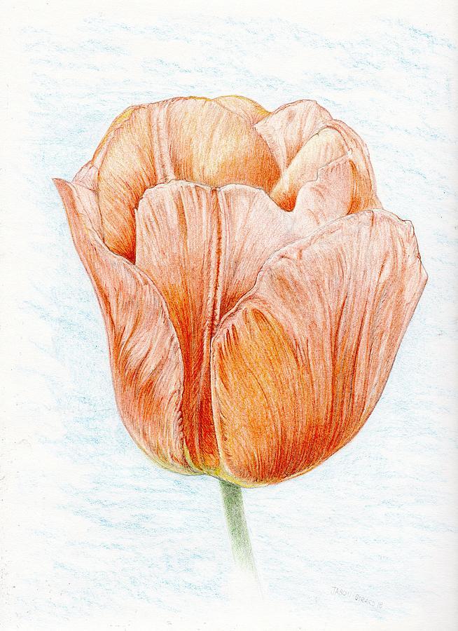 Tulip Drawing - Tulip in Peach by Jason Girard