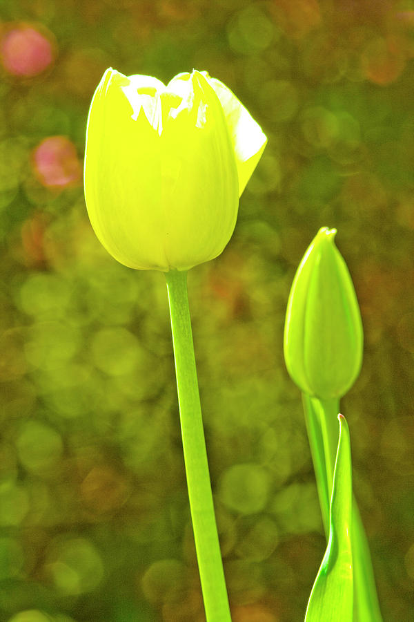 Tulip in the Morning Sun by SL Ernst