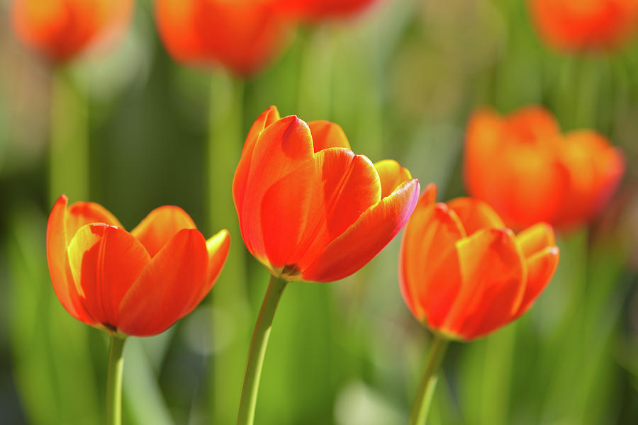 Tulip Photograph by Ithinksky