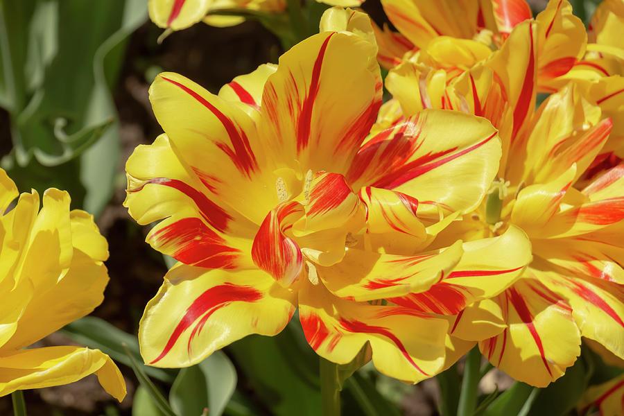 Tulip Monsella by Dawn Cavalieri