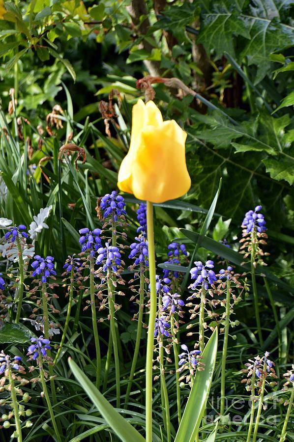 Tulip by Thomas Schroeder