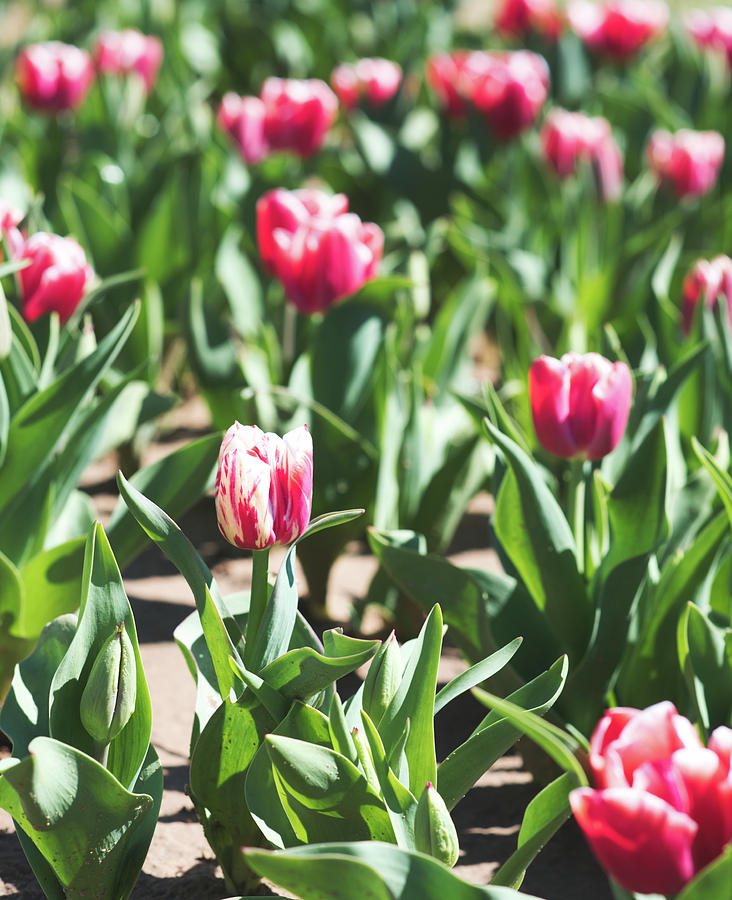 Tulips 10 #floral #tulip by Andrea Anderegg