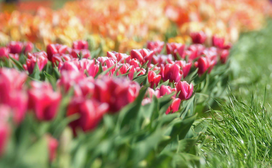 Tulips 11 #floral #tulip by Andrea Anderegg