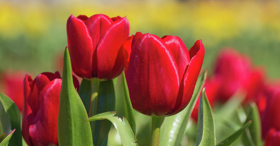 Tulips 12 #floral #tulip by Andrea Anderegg