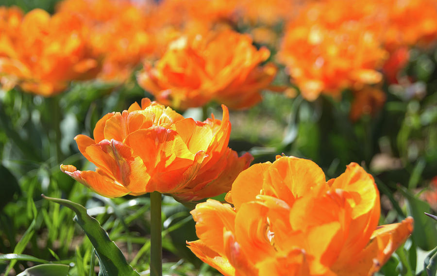 Tulips 2 #floral #tulip by Andrea Anderegg