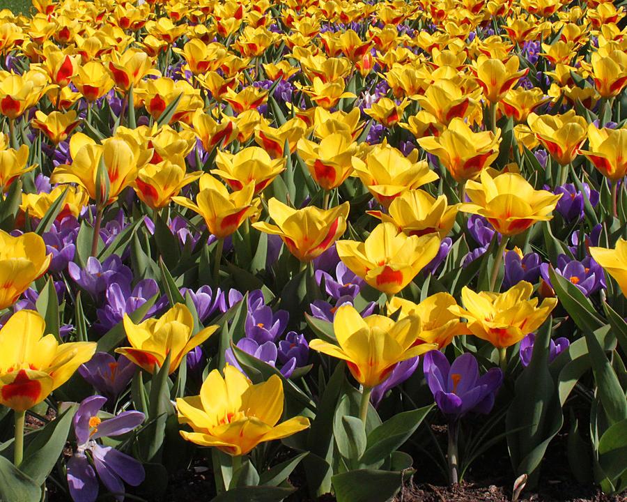 tulips 2917 by John Moyer