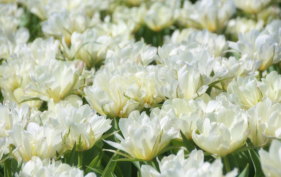 Tulips 4 #floral #tulip by Andrea Anderegg