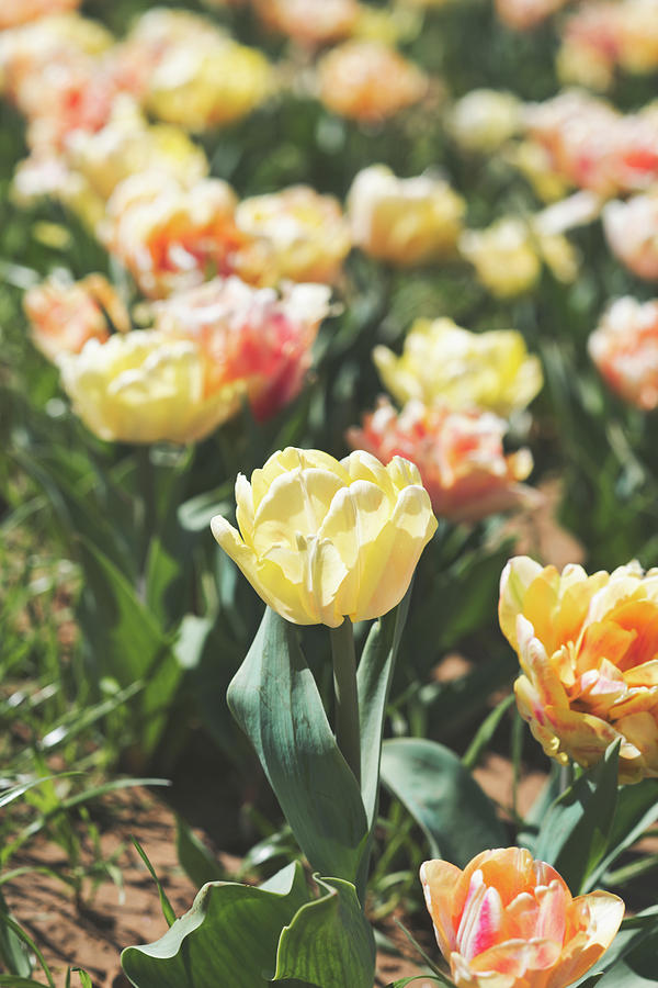 Tulips 7 #floral #tulip by Andrea Anderegg