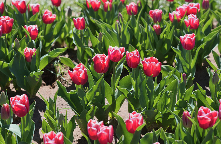 Tulips 8 #floral #tulip by Andrea Anderegg