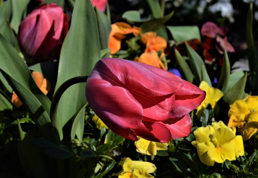Tulips and Color  by Warren Thompson