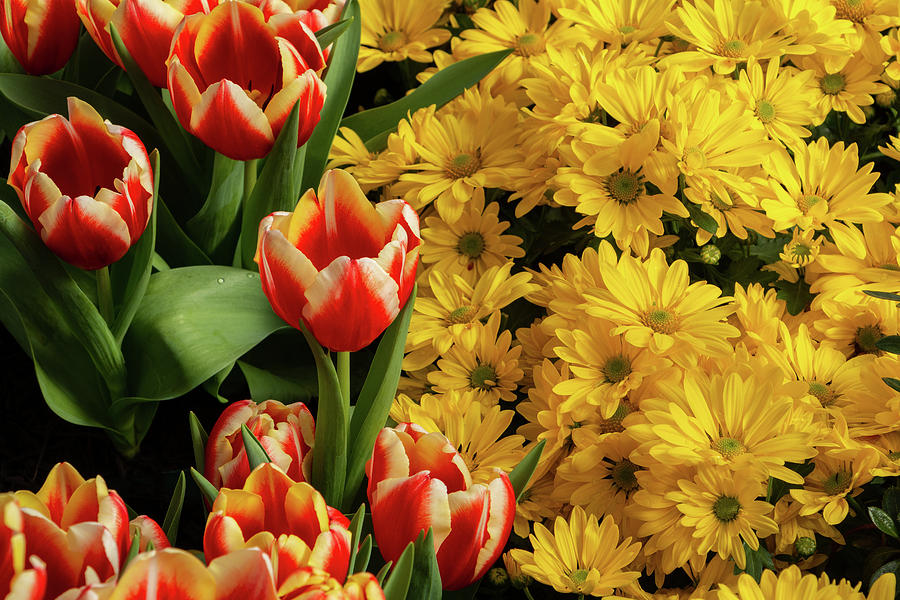 Flowers Photograph - Tulips and Daisies by Jeff Severson
