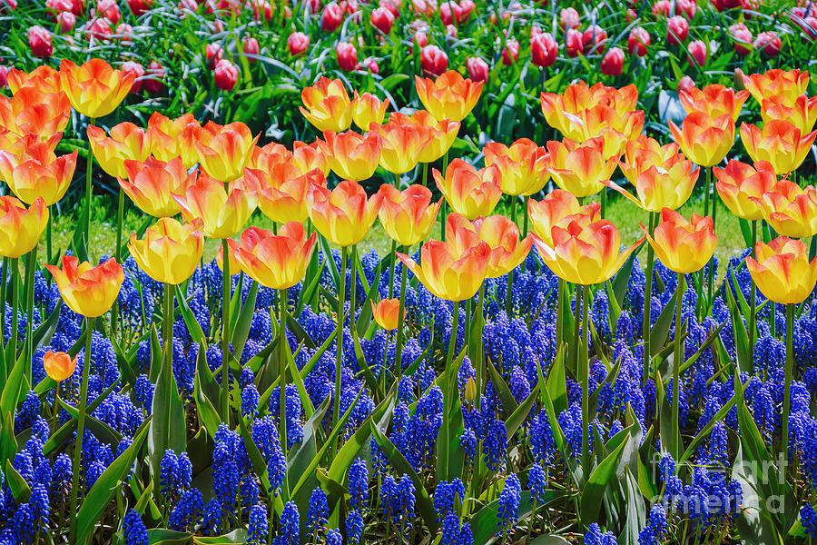 Ecosystem Photograph - Tulips And Muscari Flowers by Sergej Razvodovskij