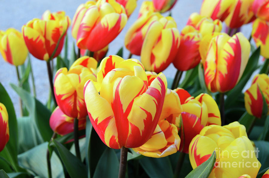 Tulips and Tiger Stripes by Amy Lyon Smith