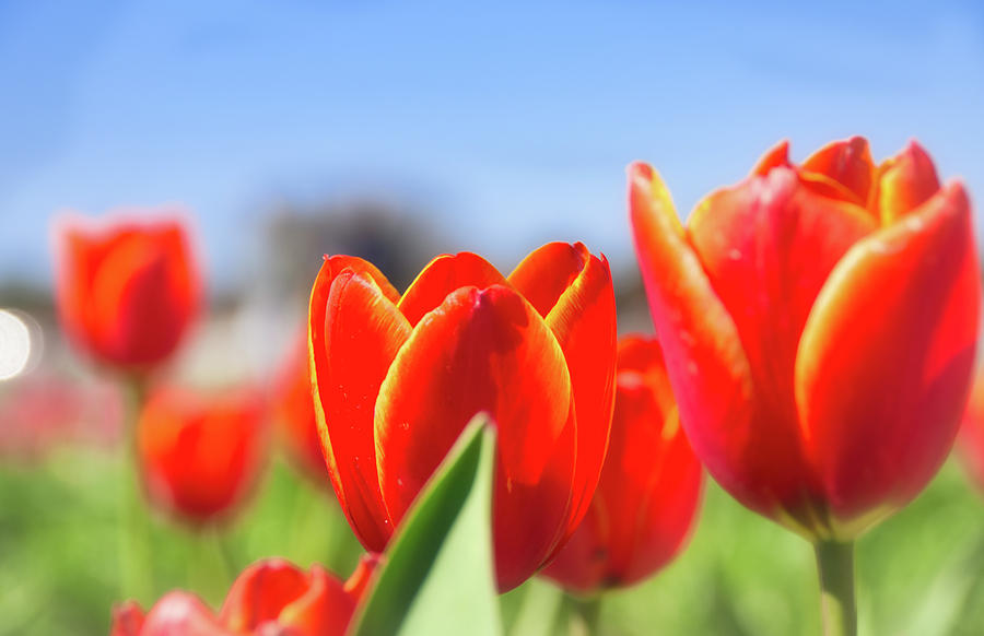 Tulips by Andrea Anderegg