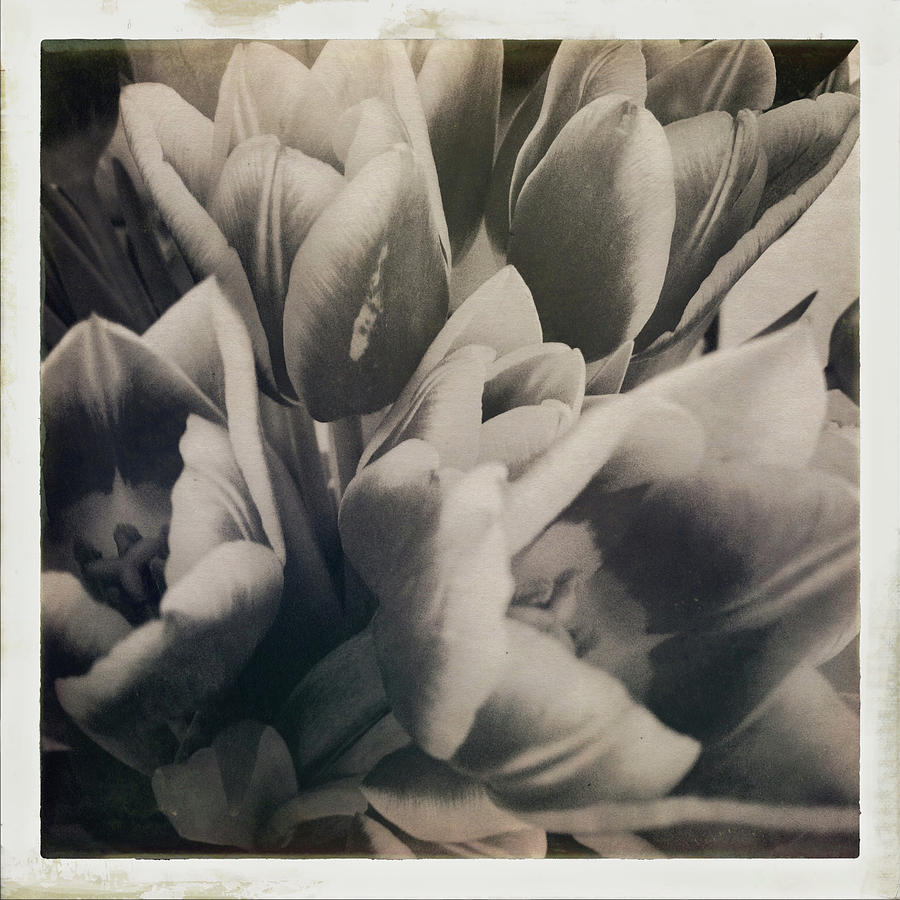 Tulips by Anne Thurston