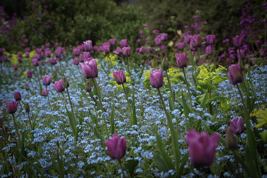 Tulips at Great Dixter Gardens by Perry Rodriguez