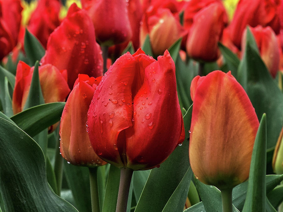 Tulips by Catherine Reading