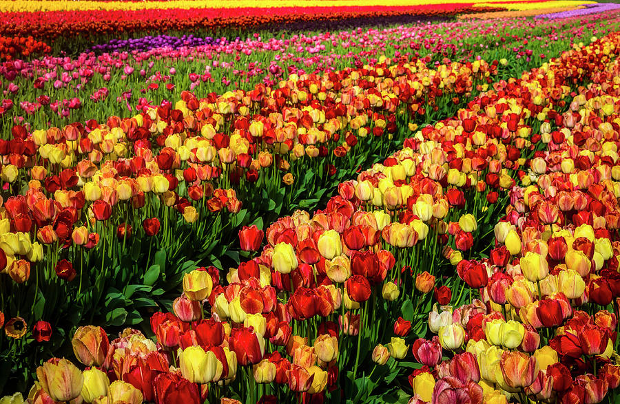 Tulip Photograph - Tulips Glorious Tulips by Garry Gay