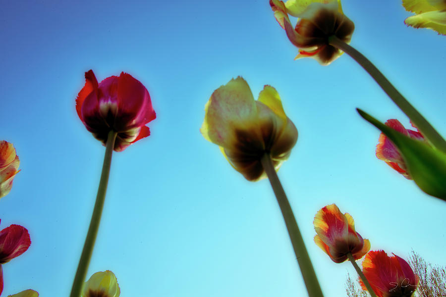 Tulips Holland Michigan 02 by Evie Carrier
