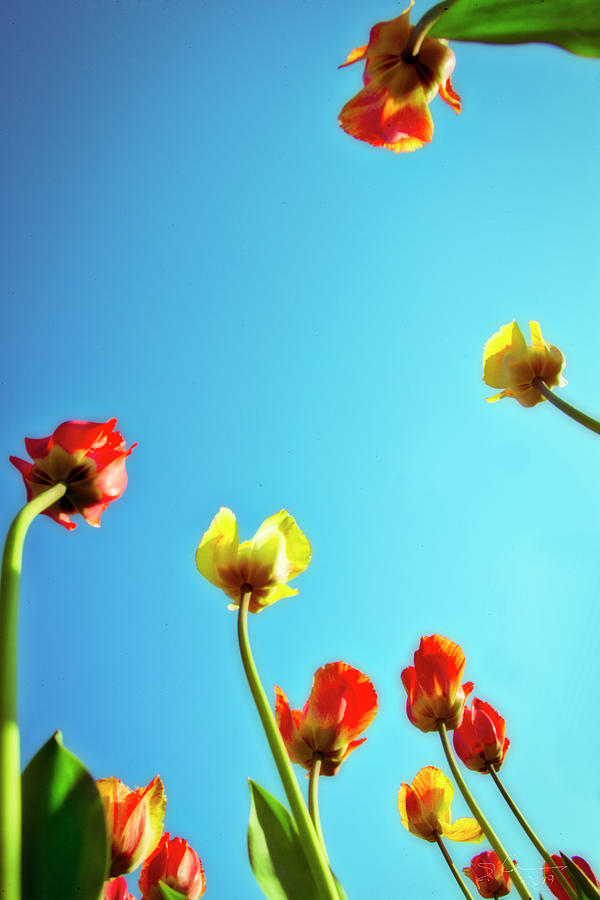 Tulips Holland Michigan 16 by Evie Carrier