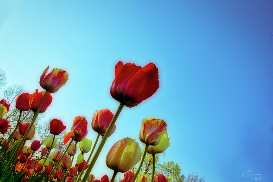 Tulips Holland Michigan 81 by Evie Carrier