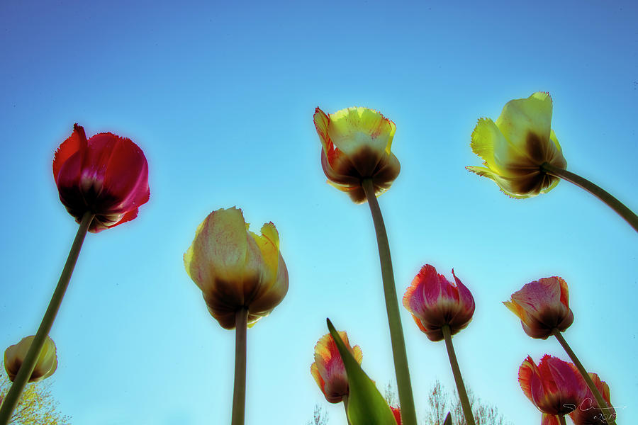 Tulips Holland Michigan 94 by Evie Carrier