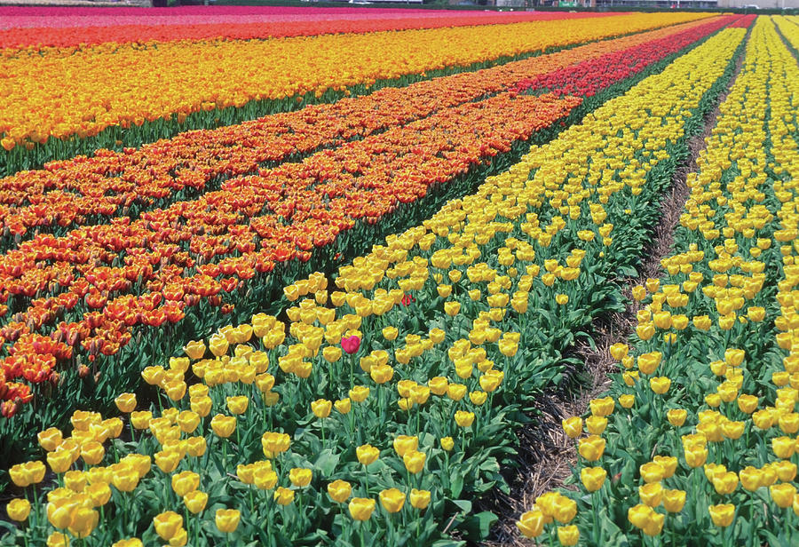 Tulips In A Field, Leiden, Netherlands Photograph by Medioimages/photodisc
