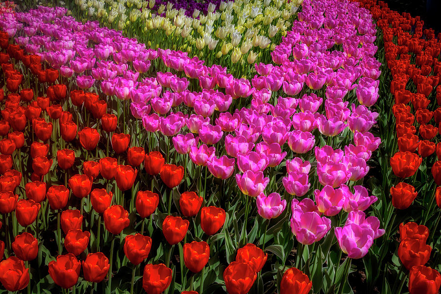 Tulips In A Vee by Garry Gay