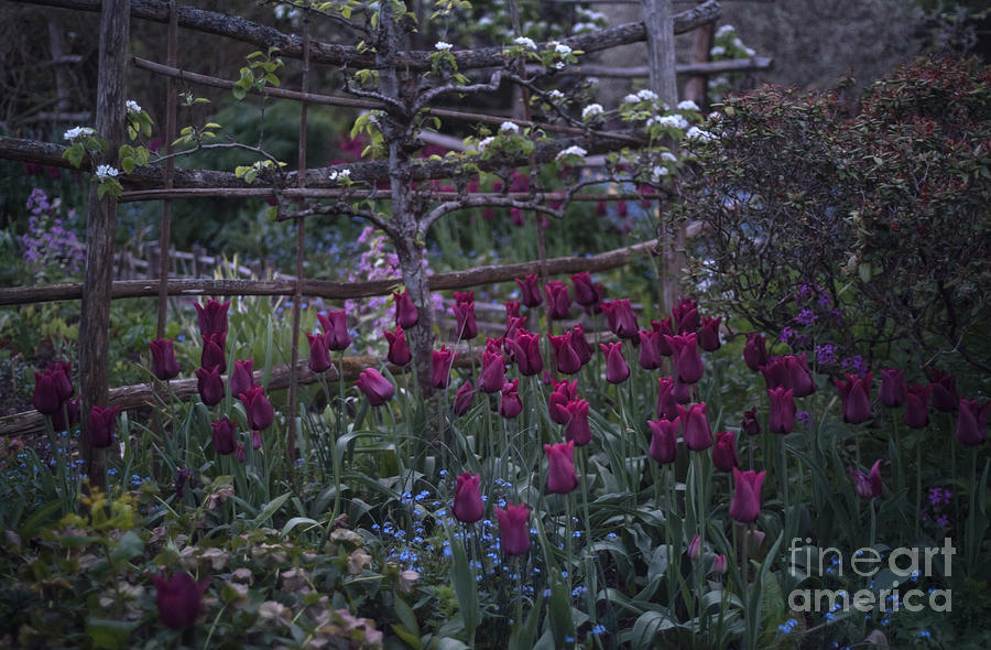 Tulips in the evening light by Perry Rodriguez