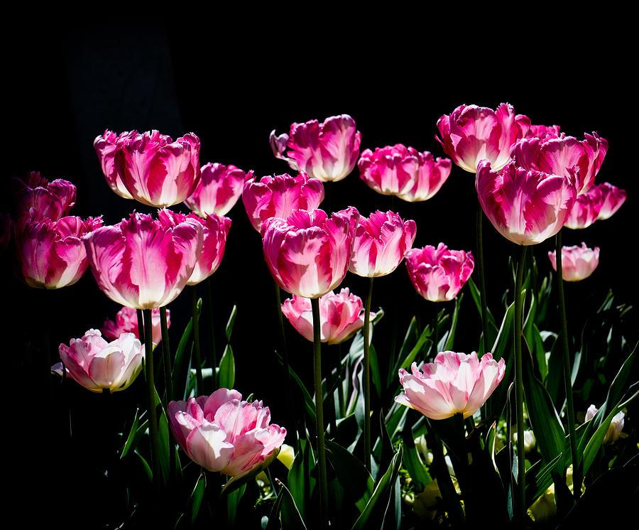 Tulips In The Sun Photograph