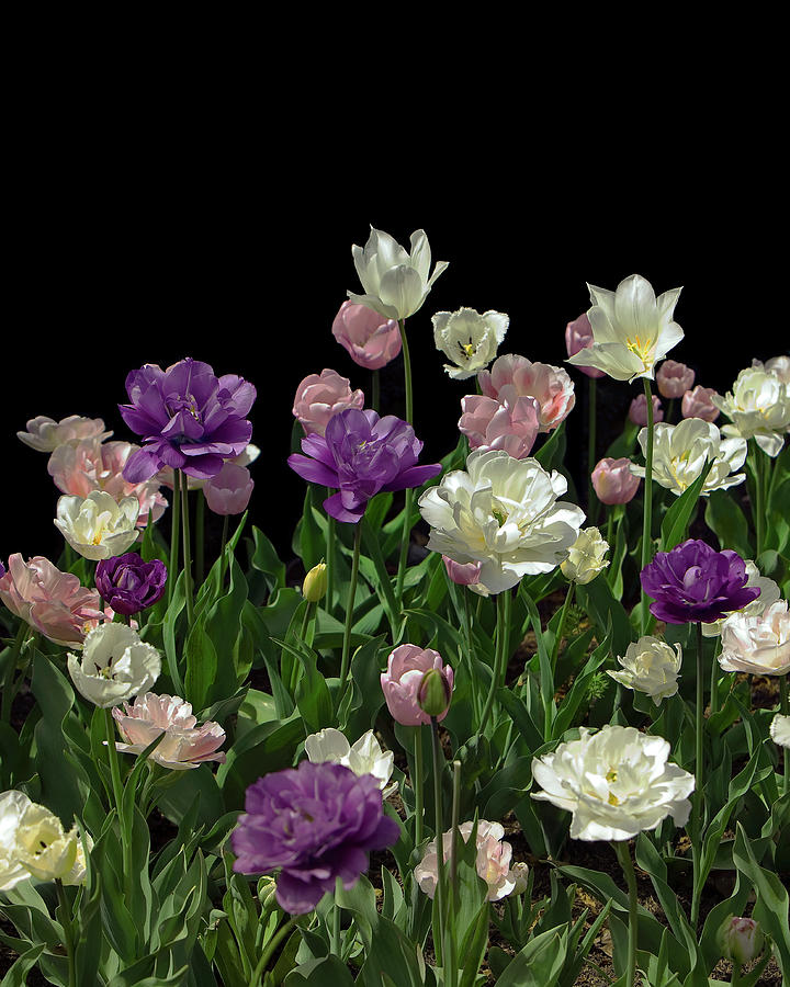 Tulips On Black Background Photograph by Eric Van Den Brulle