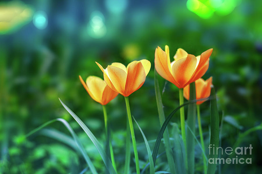 Tulips by Susan Warren