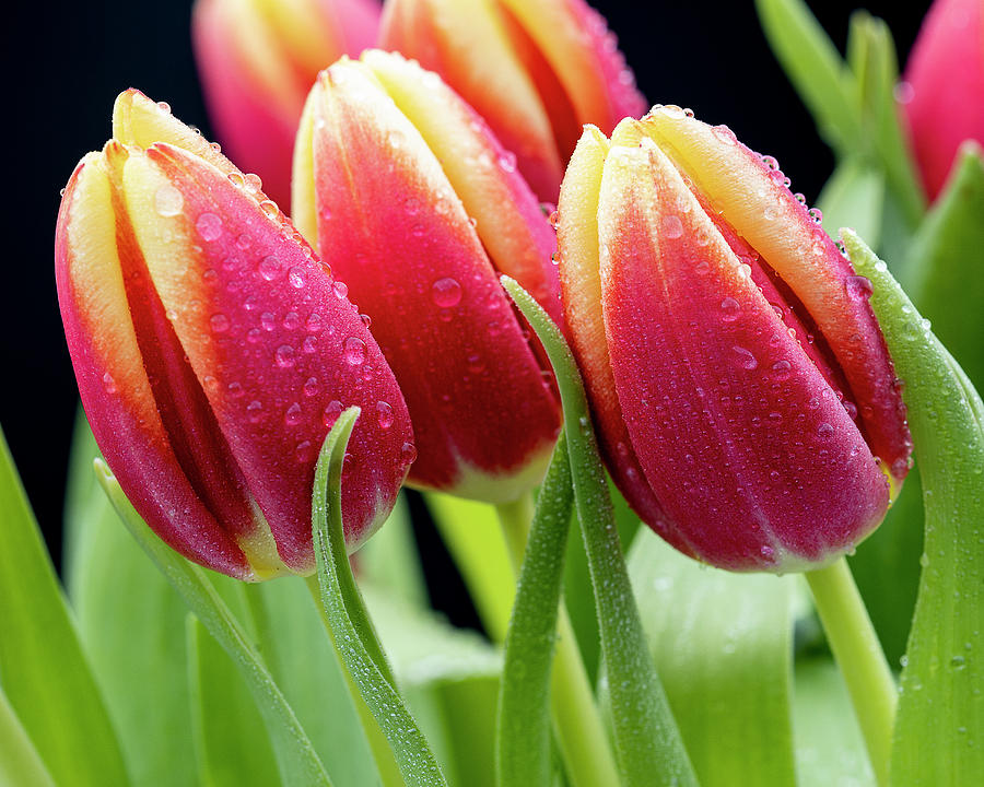 Tulips with Raindrops by John Rodrigues