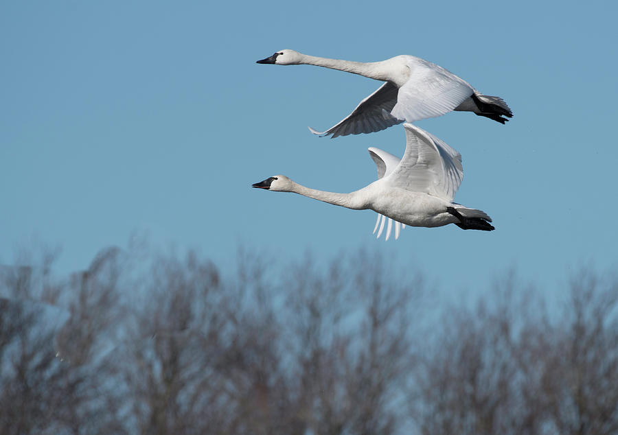 Tundra Swan Duo by Donald Brown