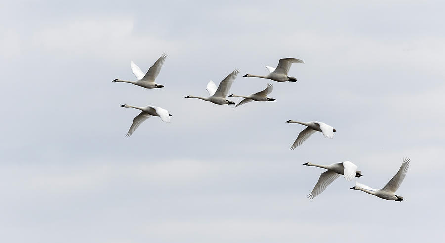 Tundra Swans 2019-1 by Thomas Young