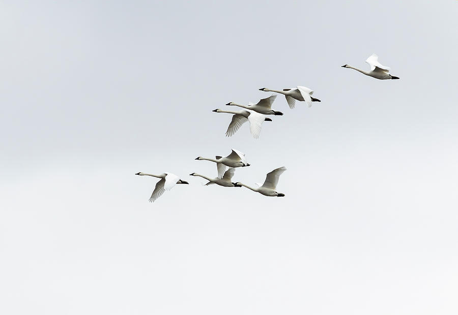 Tundra Swans 2019-3 by Thomas Young