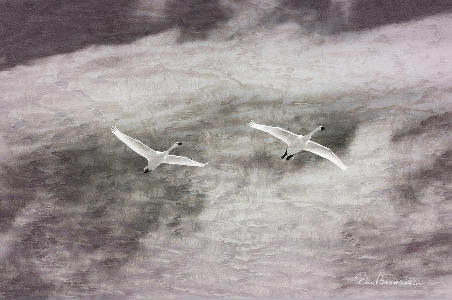 Tundra Swans Impression 6752 by Dan Beauvais