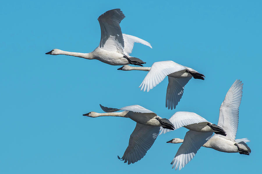 Tundra Swans in Flight by Donald Brown